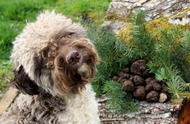 dog-truffle