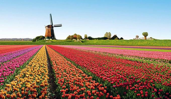 tulip field and windmill