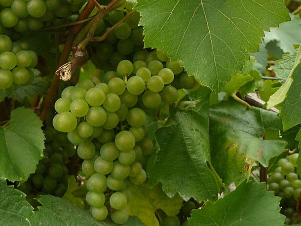Melon de Bourgogne grapes in the Loire
