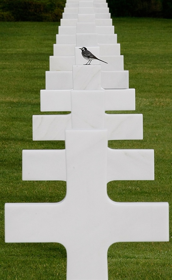 A bird stands on one of the 9,387 graves at the Colleville American military cemetery in Colleville sur Mer.