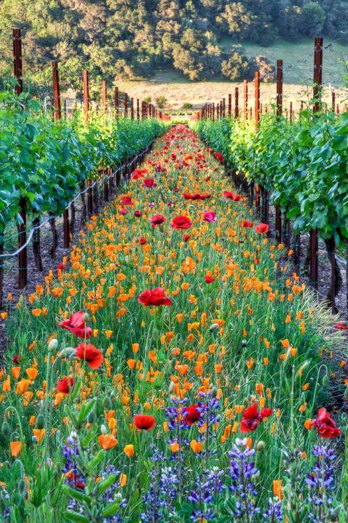 spring vineyard france