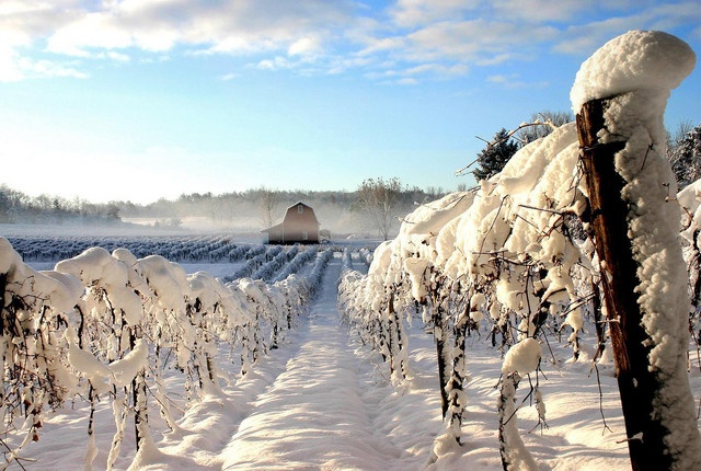 vineyard france winter